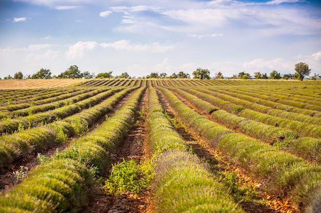 収穫されたラベンダー畑、ヴァロンソル、プロヴァンス、フランス