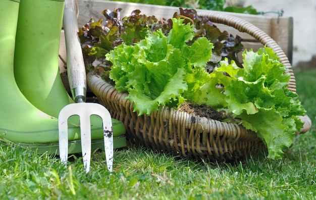 Harvested lettuce