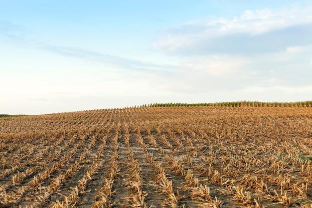 Сельскохозяйственное поле собранной зрелой кукурузы, на котором собрали зрелый урожай кукурузы, скошенные пожелтевшие стебли растения крупным планом в осенний сезон голубое небо.