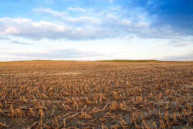 Собранная зрелая кукуруза