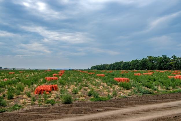 フィールドでオレンジ色のメッシュバッグに収穫されたタマネギ