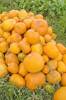 Harvested orange pumpkins