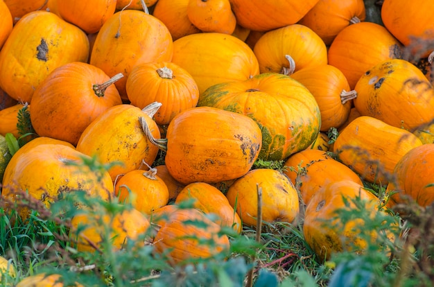 Harvested orange pumpkins
