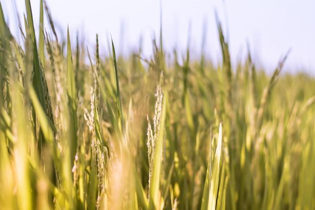 早朝の田んぼ自然背景中に収穫した水田