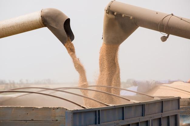 Комбайн собирает зерно пшеницы в поле.