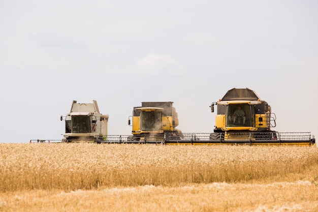 Harvester collects grain of wheat in the field.