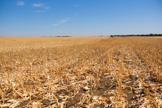 収穫のためのトウモロコシ畑の収穫機。