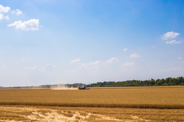 Harvesters in a field with wheat are working on harvesting