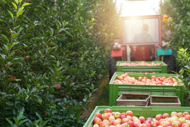 Сбор урожая яблони в зеленом саду.