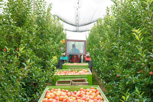 緑の果樹園でリンゴの実を収穫する