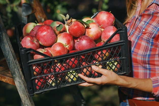 農家の手に熟したリンゴがいっぱい入った収穫箱