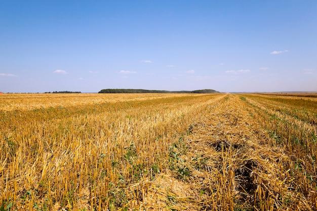 성숙한 곡물을 수확하는 곡물 수확 농업 분야