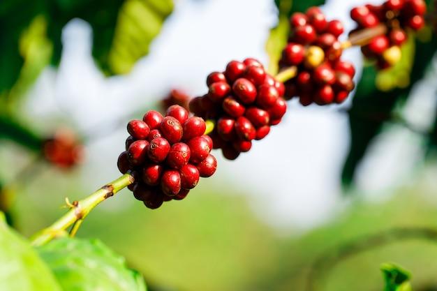 Заготовка кофейных ягод сельским хозяйством. кофейные зерна созревают на дереве на севере таиланда
