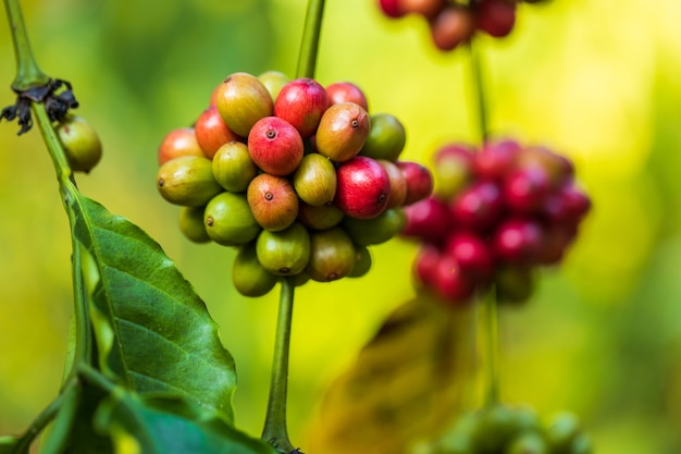 농업으로 커피 열매를 수확. 태국 북부에있는 나무에 숙성하는 커피 콩