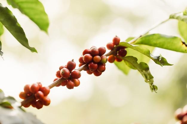 농업으로 커피 열매를 수확합니다. 태국 북부에있는 나무에 숙성하는 커피 콩