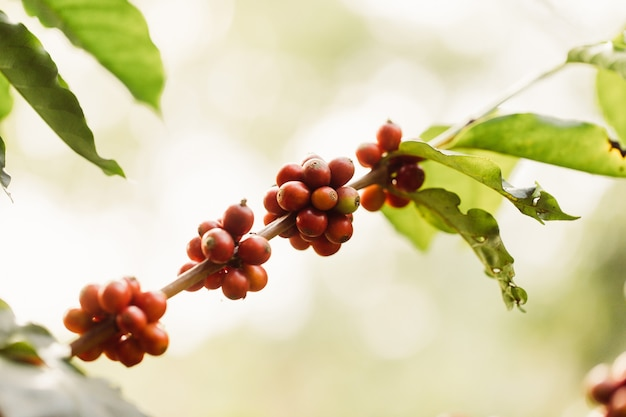 Harvesting coffee berries by agriculture. coffee beans ripening on the tree in north of thailand