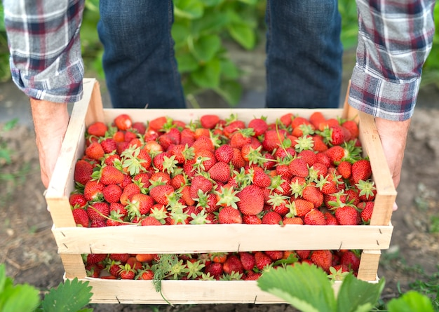 Harvesting delicious organic strawberries fruit