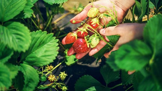 신선한 유기농 딸기 수확. 농부의 손 따기 딸기 클로즈업입니다. 딸기 덤불