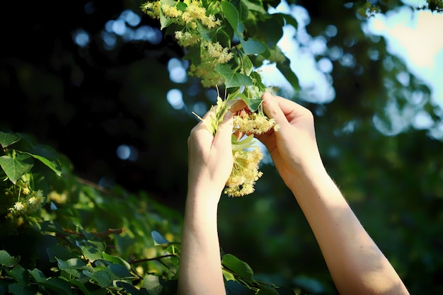 菩提樹からの収穫
