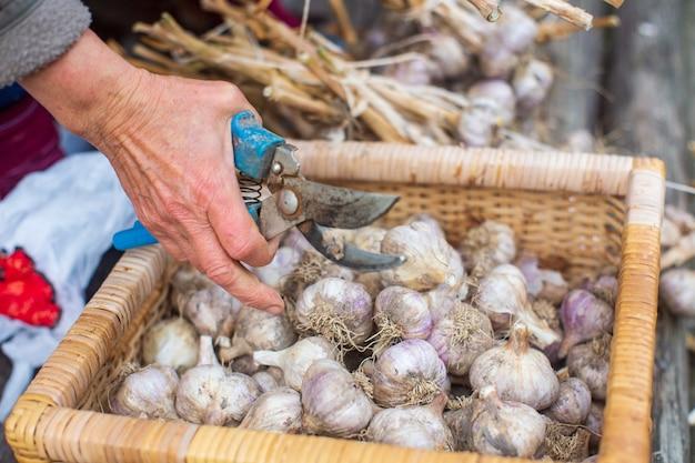 겨울을 위한 마늘 수확 농업 개념 건강하고 신선한 음식