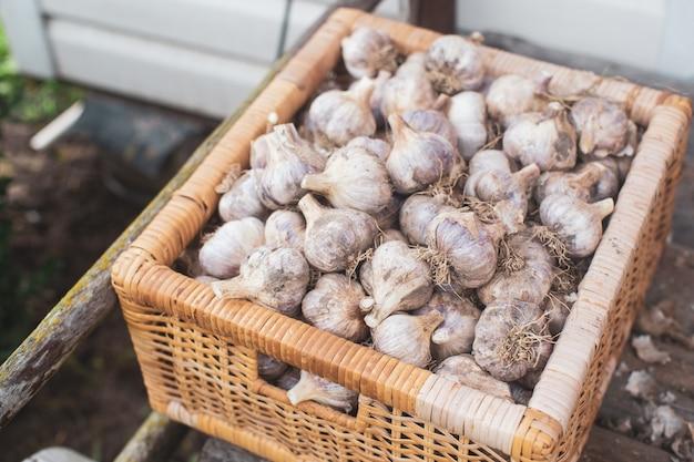 겨울 농업 개념을 위한 마늘 수확 건강하고 신선한 음식 전구에서 줄기 절단