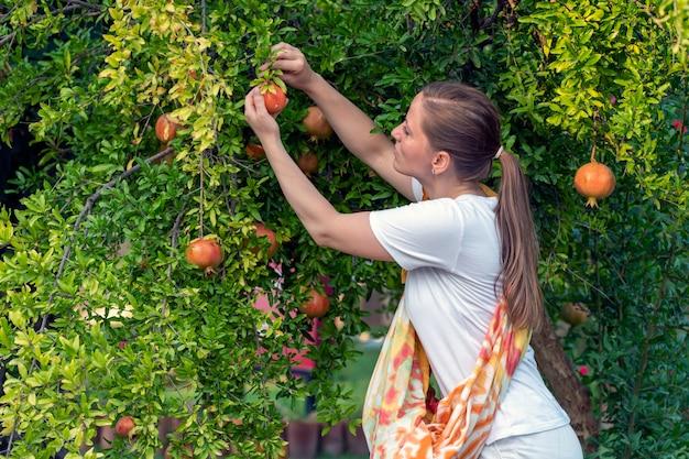 따뜻한 가을에 수확. 한 소녀가 저녁에 나무에서 익은 석류 과일을 수집합니다.