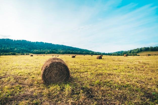 Сбор урожая в поле в горах. красивый сельский пейзаж. круглые тюки соломы на убранных полях и голубое небо с облаками