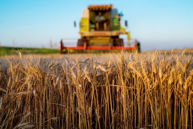 Уборочная машина работает на поле в солнечное утро. концепция сельского хозяйства. зерноуборочный комбайн на пшеничном поле.