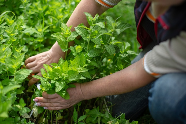 Harvesting mint woman farmer hands picking mint leaves in garden healthy herbs concept