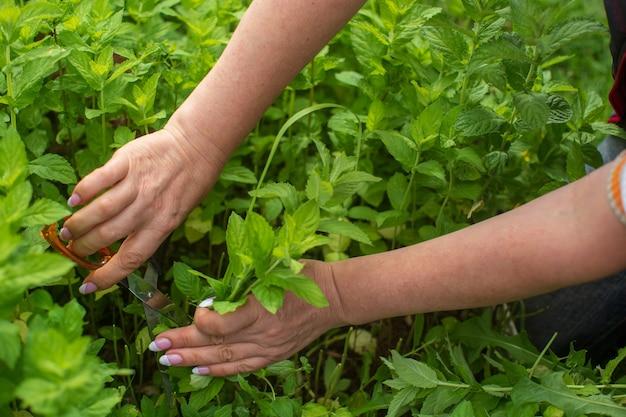 ミントの収穫。女性農家の手