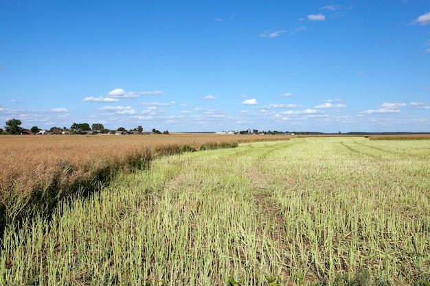 유채 수확을 한 농경지에서 유채 수확, 여름,