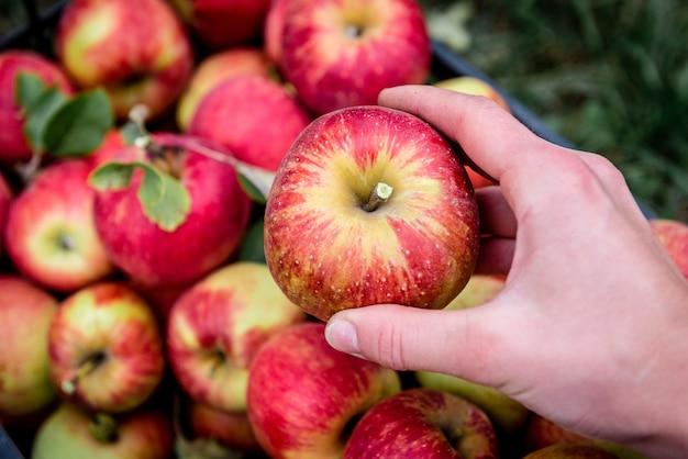 黒いプラスチックの箱に赤いリンゴを収穫する。