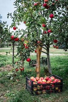 Сбор красных яблок в черный пластиковый ящик.
