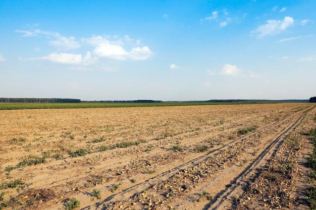 タマネギの収穫畑-タマネギの収穫とクローズアップが行われる農地