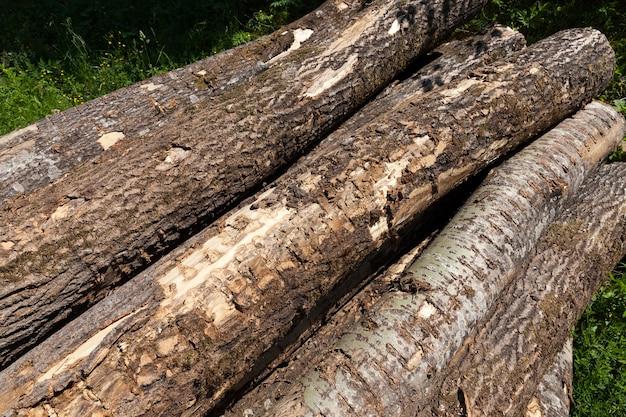 森の中の松の幹を収穫する