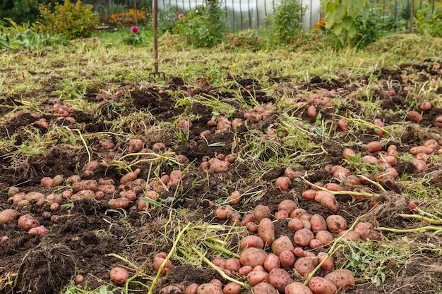 ジャガイモの収穫掘り起こされたジャガイモは畑の地面に横たわっています