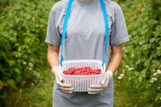 ラズベリーを収穫します。ラテックス手袋をした労働者の手にあるベリー用のプラスチックの箱。