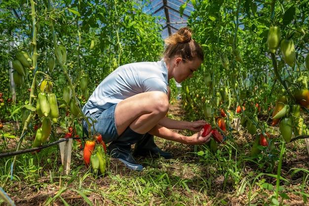 有機農場の温室で赤唐辛子を収穫します。