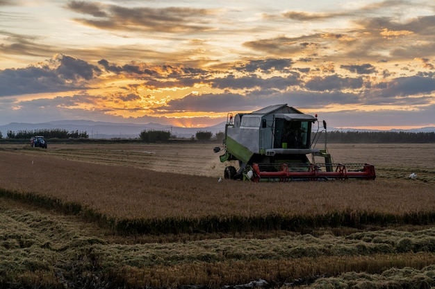 Harvesting rice in the albufera of valencia at sunset