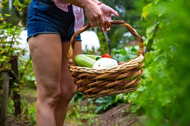 Harvesting vegetables in vegetable garden