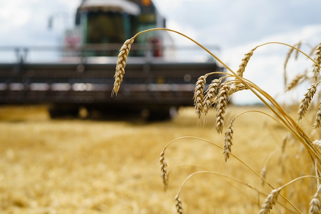 Harvesting wheat in summer