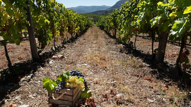 Harvesting with a row of vines and a basket of grapes