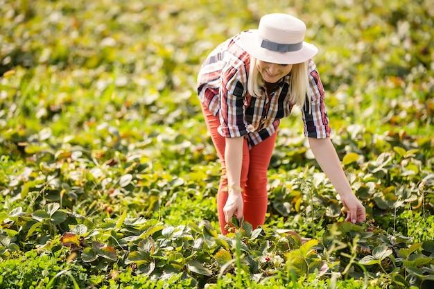 Женщина сбора урожая на клубничном поле.