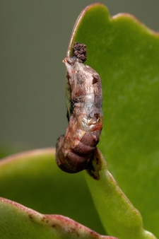 Hatched cocoon of a armyworm moth of the genus spodoptera