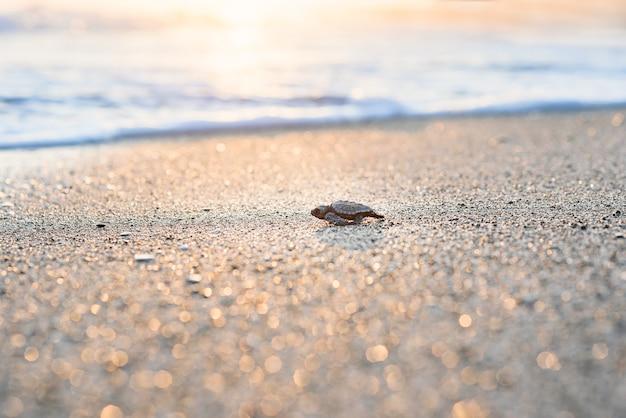 부화한 바다거북은 일출 때 모래 위를 기어가서 바다로 나아가 새로운 삶을 향해 나아갑니다