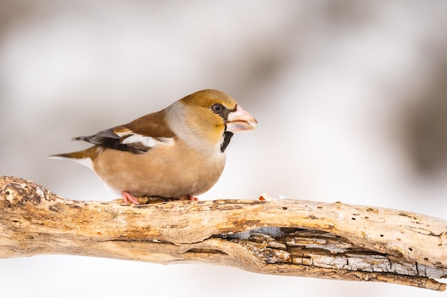 Hawfinch coccothraustes coccothraustesは、冬のクローズアップで棒の上に座っています。
