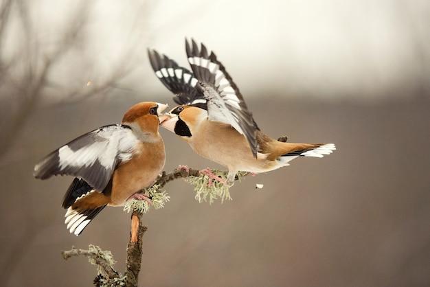 Hawfinch coccothraustescoccothraustes。二羽の鳥が森で戦う。