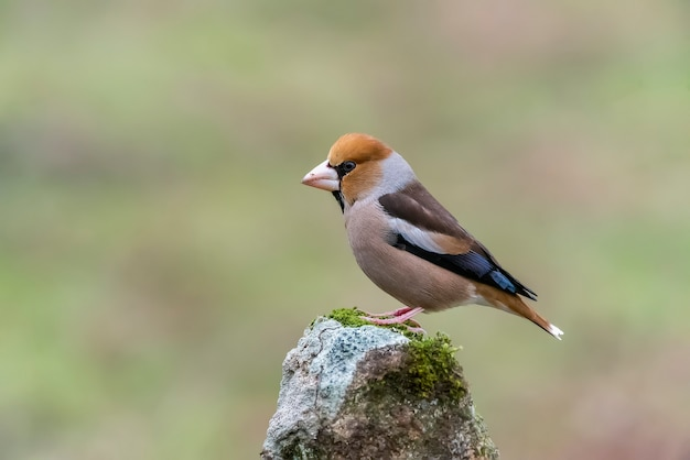 Hawfinch perched on a stone