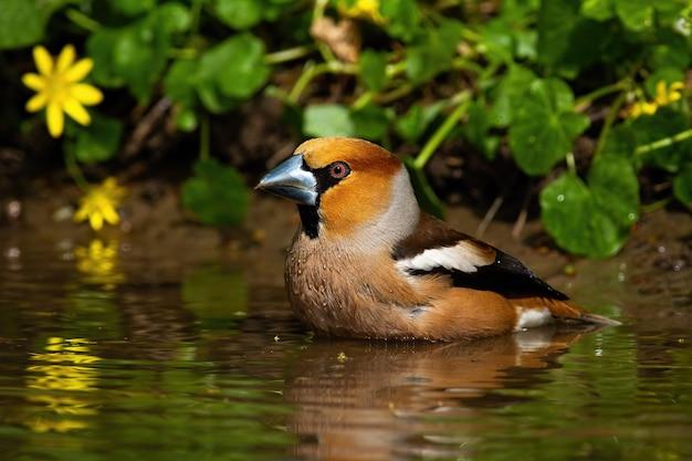 Мужской hawfinch стоя в озере и очищая пер с водой.