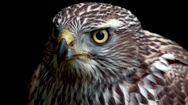 Hawk on black background